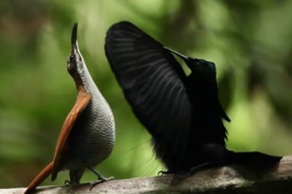 birds of paradise mating dance